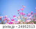 花 秋桜 コスモスの写真 24952513