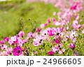 咲く 秋桜 コスモスの写真 24966605