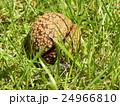 昭和の森で熟して落ちたトチノキの実 24966810
