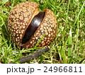 昭和の森で熟して落ちたトチノキの実 24966811