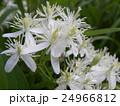つる性植物なのにこんなに大きな葉を咲かすセンニンソウ 24966812