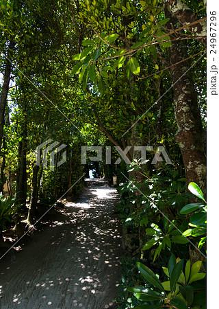 沖縄県 本部町 備瀬のフクギ並木 24967296