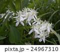 つる性植物なのにこんなに大きな葉を咲かすセンニンソウ 24967310