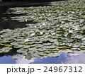 昭和の森下夕田池のスイレンの白い花 24967312