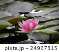 昭和の森下夕田池のスイレンの赤い花 24967315