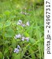 このむらしき色の花はアキノタムラソウの花 24967317