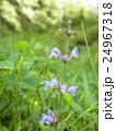 このむらしき色の花はアキノタムラソウの花 24967318