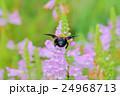 花 角虎の尾 花虎の尾の写真 24968713
