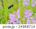 花 角虎の尾 花虎の尾の写真 24968714