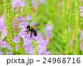 花 角虎の尾 花虎の尾の写真 24968716