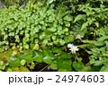 水連 蓮の葉 庭園 24974603