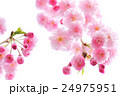 しだれ桜 24975951