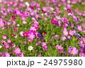 綺麗なコスモス畑 背景素材 24975980