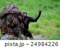 動物 チンパンジー 動物園の写真 24984226