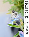 ブルースターの花に止まるヤマトシジミ 24986768