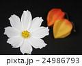 コスモスとほおずき 24986793