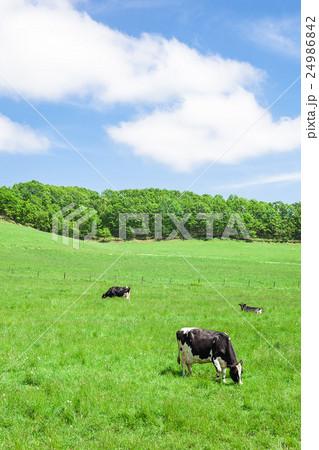 乳牛 24986842