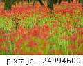 曼珠沙華 花 彼岸花の写真 24994600