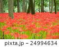曼珠沙華 花 彼岸花の写真 24994634