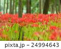 曼珠沙華 花 彼岸花の写真 24994643