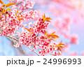 Beautiful cherry blossom, Chiang Mai, Thailand 24996993