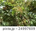熟れ始めたシジミバナの実 24997609