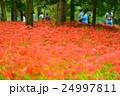 彼岸花 曼珠沙華 花の写真 24997811