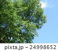 クスノキの大木の実を付けた秋の姿 24998652