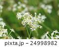 花 ニラ 白色の写真 24998982