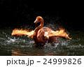 フラミンゴ 鳥 ベニイロフラミンゴの写真 24999826