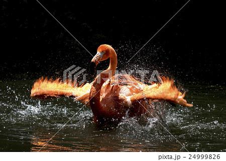 フラミンゴの水浴び 24999826