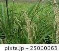 頭がたれ始めた稲の穂 25000063