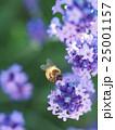 ラベンダーと蜜蜂のアップ 25001157