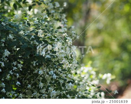 萩の花(白) 25001639