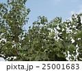 これから黒く熟し白い種を生むナンキンハゼの未熟な実 25001683