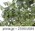 これから黒く熟し白い種を生むナンキンハゼの未熟な実 25001684