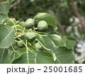 これから黒く熟し白い種を生むナンキンハゼの未熟な実 25001685