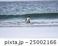 アデリーペンギン属 サンダース島 ジェンツーペンギンの写真 25002166