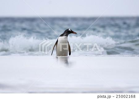 海から帰ってきたジェンツーペンギン 25002168