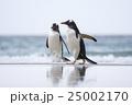 アデリーペンギン属 サンダース島 ジェンツーペンギンの写真 25002170
