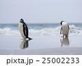 アデリーペンギン属 サンダース島 ジェンツーペンギンの写真 25002233