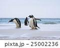 アデリーペンギン属 サンダース島 ジェンツーペンギンの写真 25002236