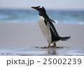 アデリーペンギン属 サンダース島 ジェンツーペンギンの写真 25002239