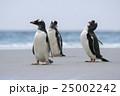 アデリーペンギン属 サンダース島 ジェンツーペンギンの写真 25002242