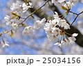 桜 ソメイヨシノ 花の写真 25034156