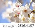 桜 ソメイヨシノ 花の写真 25034157