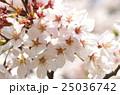 桜 ソメイヨシノ 花の写真 25036742