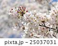 桜 ソメイヨシノ 花の写真 25037031