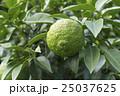 ゆず 果樹園 25037625