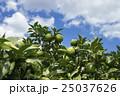 ゆず 果樹園 25037626